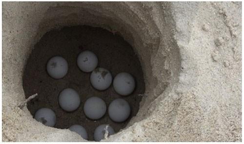 Ấp nở hơn 1.900 trứng rùa tại Cù Lao Chàm - Ảnh 1.