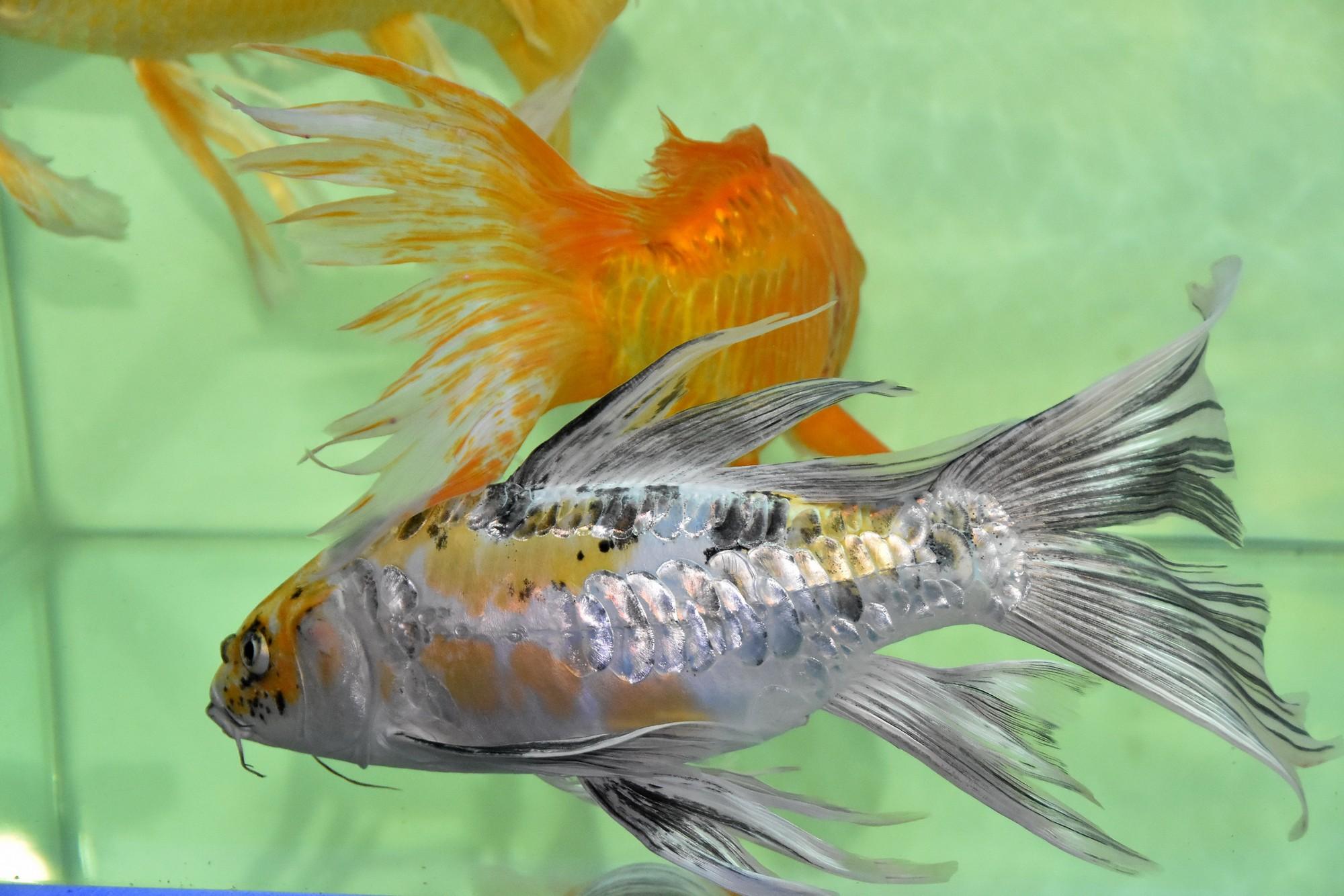Cả trăm loài cá cảnh đủ sắc màu hút hồn dân chơi thủy sinh ở TP HCM - Ảnh 13.