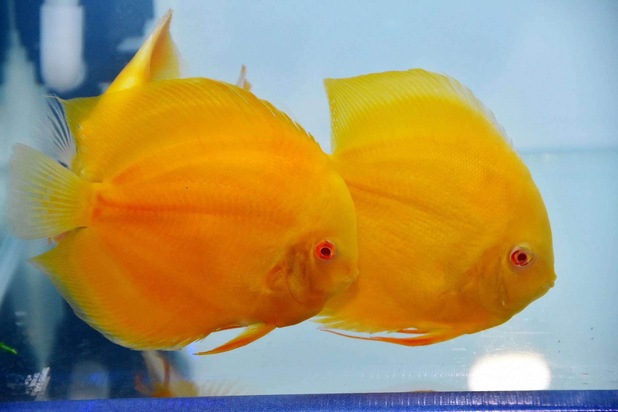 Cả trăm loài cá cảnh đủ sắc màu hút hồn dân chơi thủy sinh ở TP HCM - Ảnh 11.