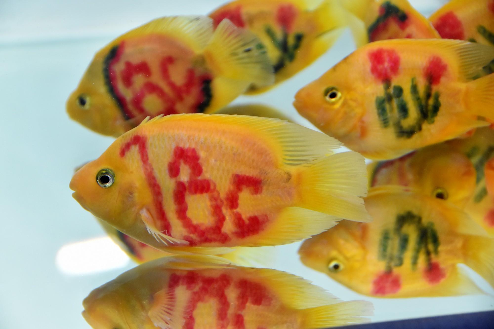 Cả trăm loài cá cảnh đủ sắc màu hút hồn dân chơi thủy sinh ở TP HCM - Ảnh 10.