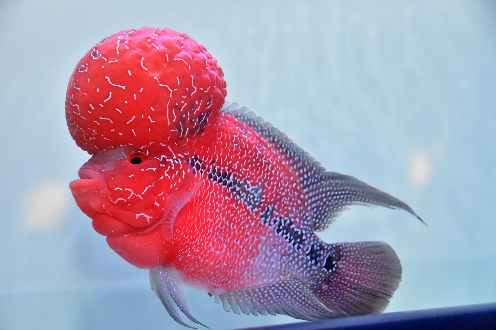 Cả trăm loài cá cảnh đủ sắc màu hút hồn dân chơi thủy sinh ở TP HCM - Ảnh 8.