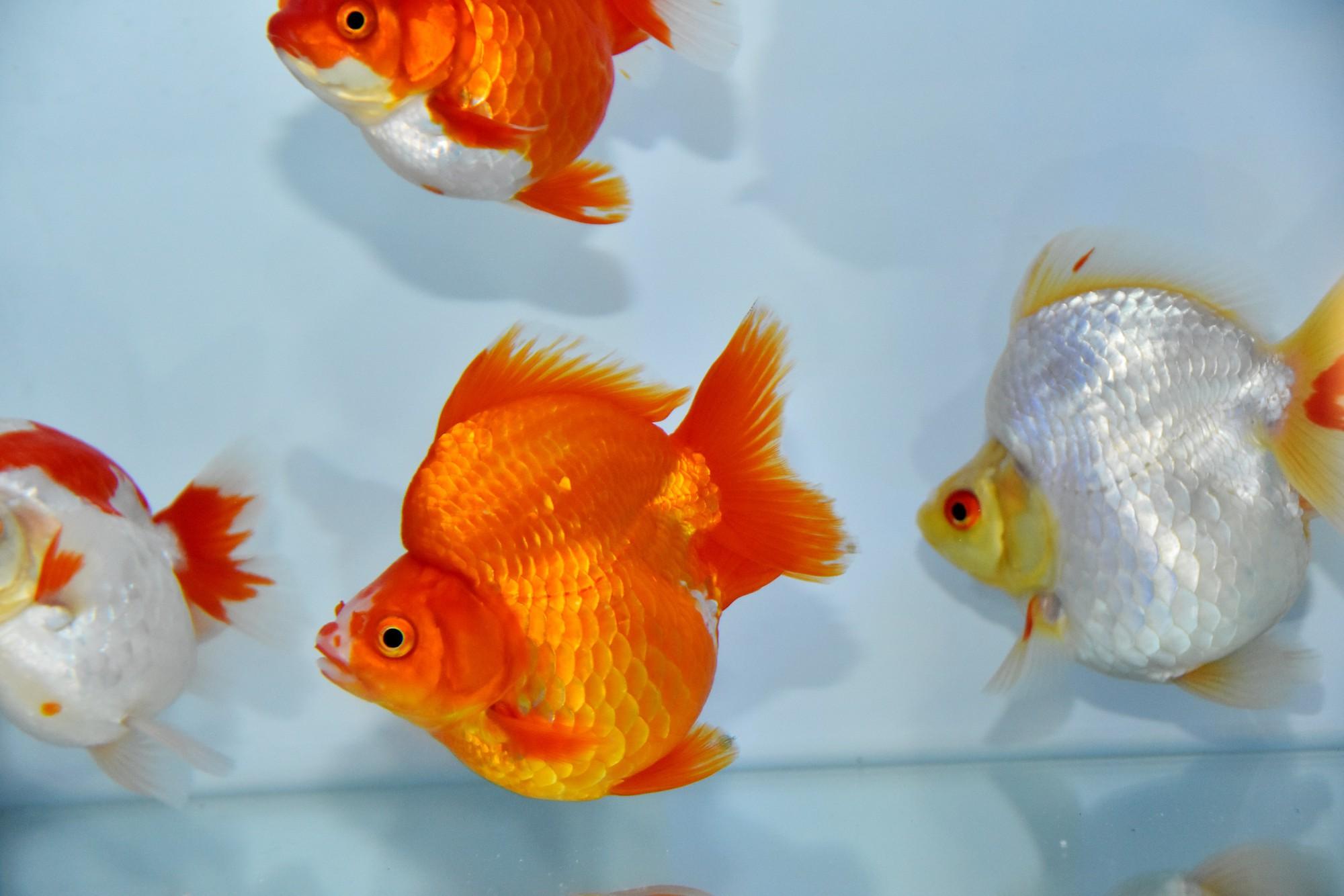 Cả trăm loài cá cảnh đủ sắc màu hút hồn dân chơi thủy sinh ở TP HCM - Ảnh 5.