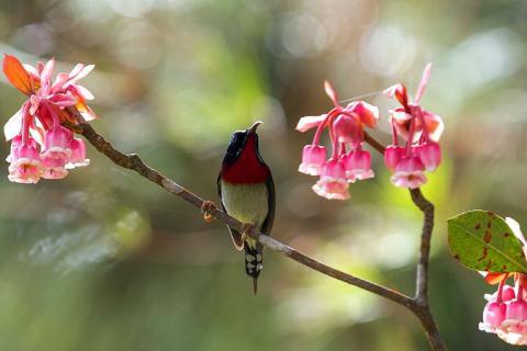 Chiêm ngưỡng hoa đào chuông độc đáo trên đỉnh Bà Nà - Ảnh 2.