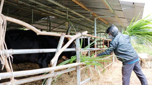 Lo phương án di chuyển đàn bò tót lai - Ảnh 1.