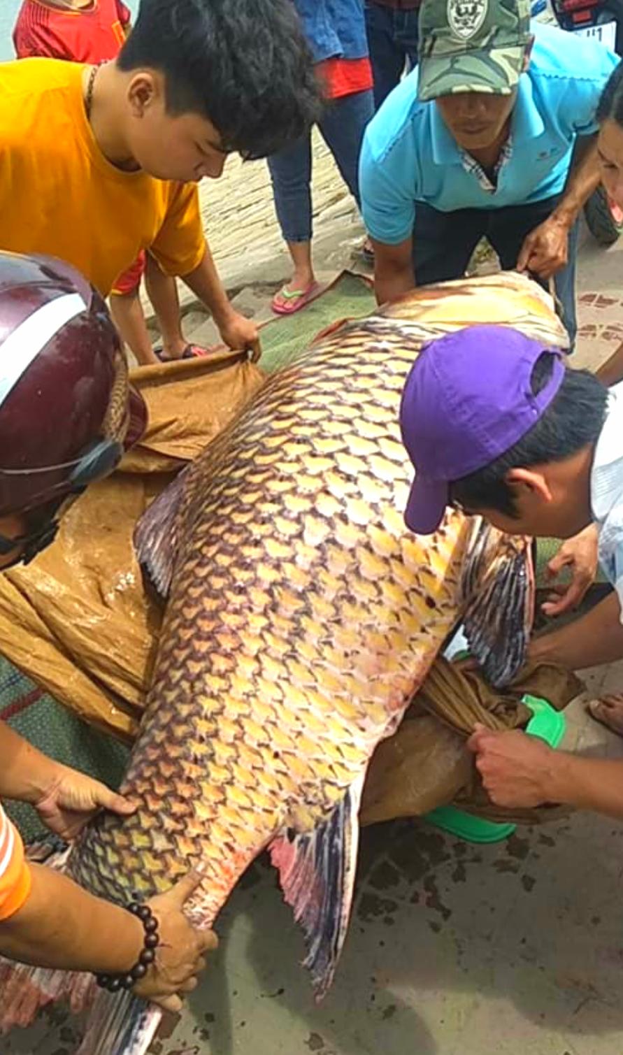 Vụ đưa cá hô lên TP HCM xẻ thịt: Có thể bị phạt 1 tỉ đồng - Ảnh 1.