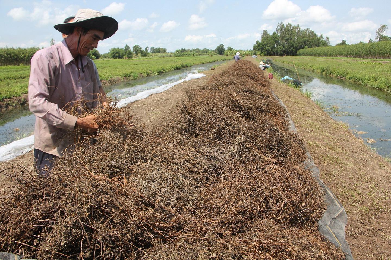 [eMagazine] Hiệu quả từ mô hình trồng sương sáo của bà con nông dân miền Tây - Ảnh 4.