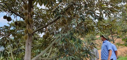 Lên Khánh Sơn ăn trái cây - Ảnh 1.