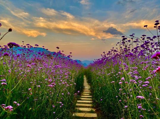 Check in đồi hoa tím, chụp những bức ảnh đẹp để đời - Ảnh 8.