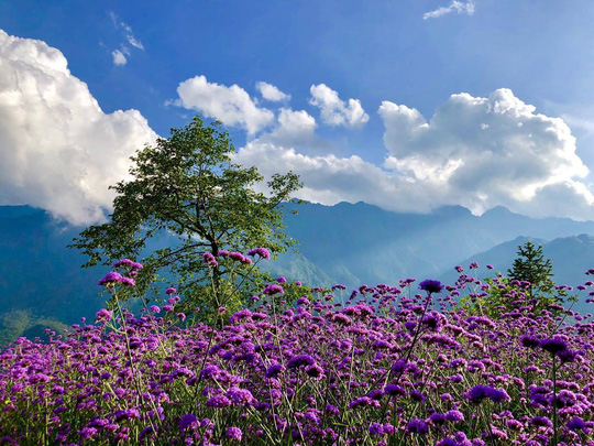 Check in đồi hoa tím, chụp những bức ảnh đẹp để đời - Ảnh 3.