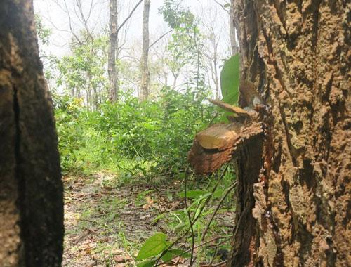 Rừng bảo tồn Tà Cú bị đầu độc - Ảnh 1.