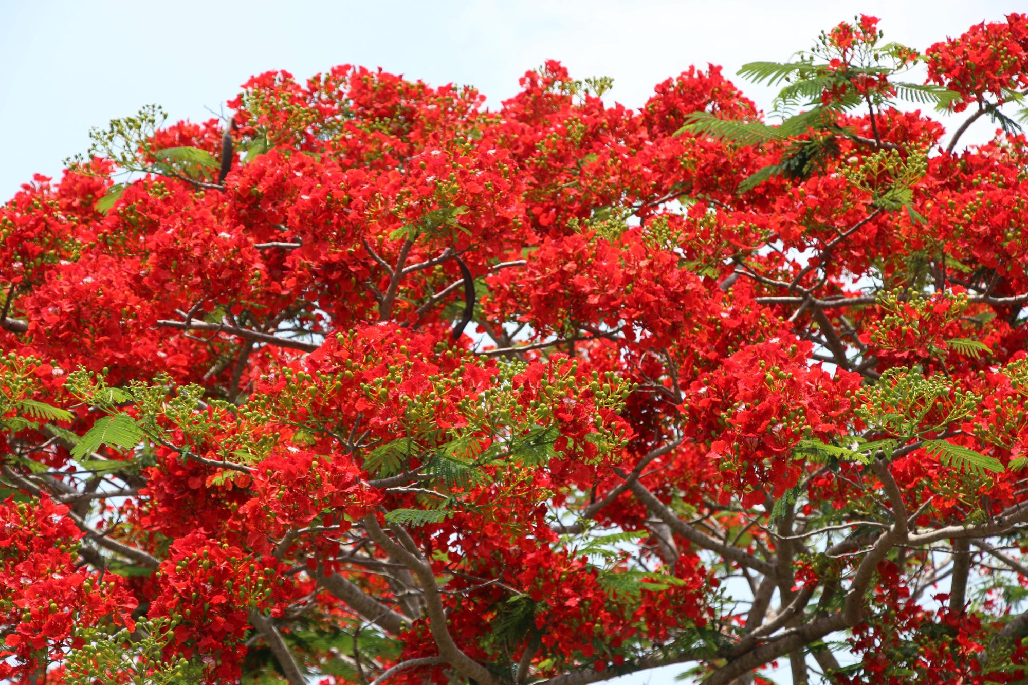 Đẹp ngỡ ngàng con đường hoa phượng đỏ rực ở miền Tây - Báo Người ...