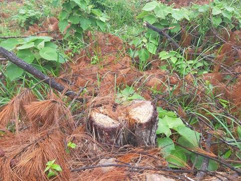 Clip, ảnh cận cảnh hơn 4 ha rừng phòng hộ bị chặt phá tan hoang cách UBND xã 1 km - Ảnh 4.