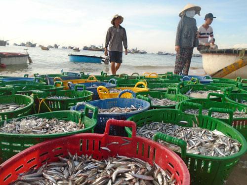 Mùa cá cơm kém vui của ngư dân - Ảnh 1.