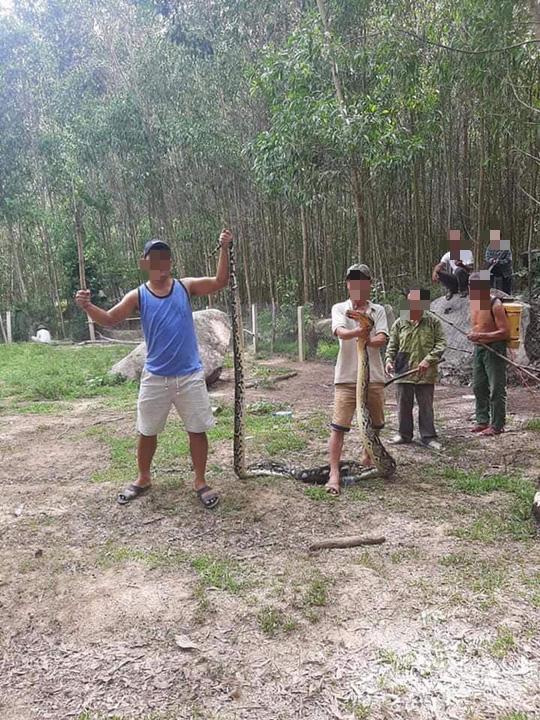 Clip: Trăn 22 kg nuốt nguyên con dê 25 kg ở Quảng Nam - Ảnh 3.