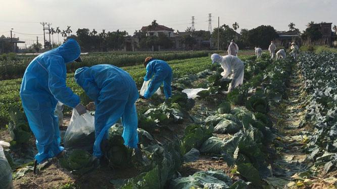 Nỗ lực giải cứu hơn 90.000 tấn nông sản Hải Dương - Ảnh 1.