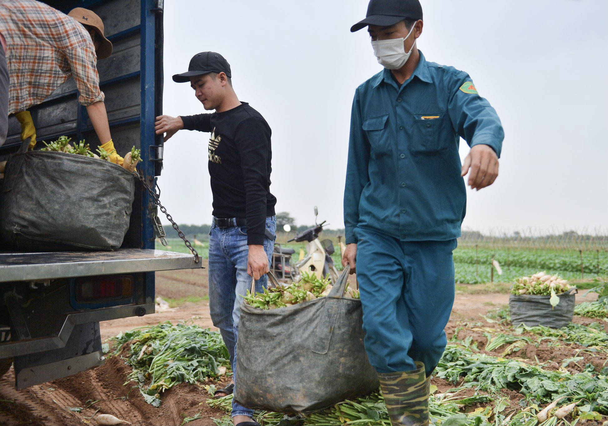 Close-up of people in Hanoi pulling up hundreds of tons of radishes because they cannot sell them - Photo 12.