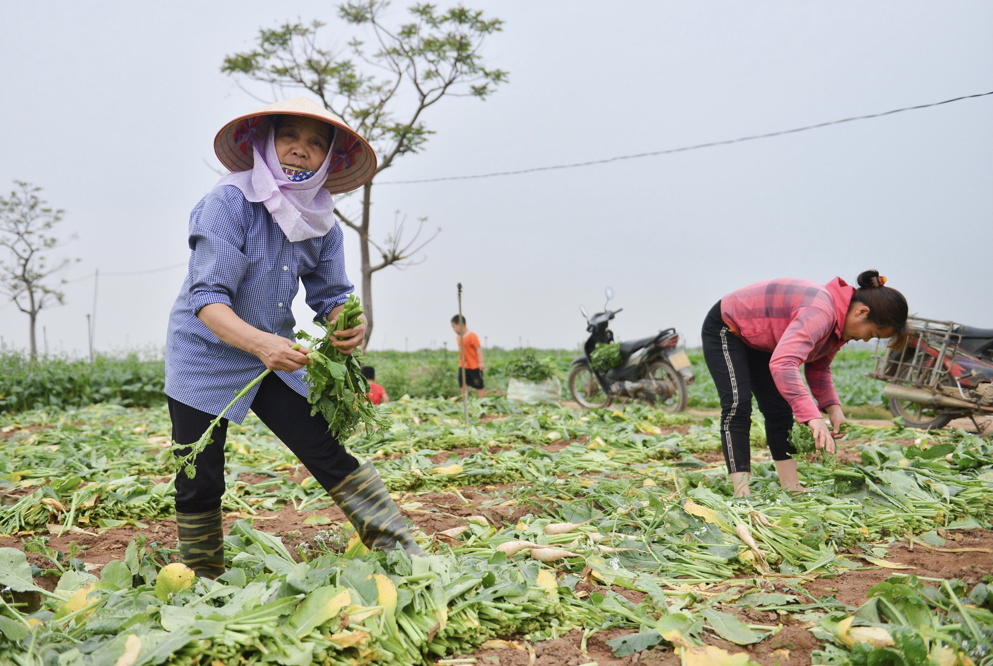Close-up of people in Hanoi pulling up hundreds of tons of radishes because they cannot sell them - Photo 8.