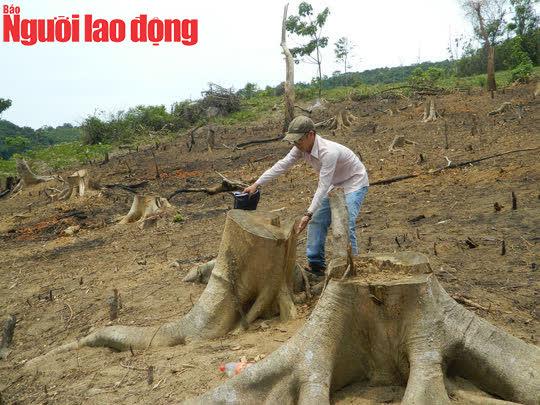 Yêu cầu làm rõ trách nhiệm vụ hàng chục cây rừng bị lâm tặc đốn hạ ở Quảng Trị - Ảnh 1.
