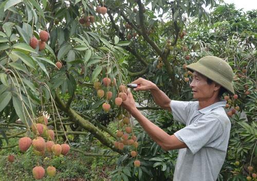 Cục Quản lý thị trường Đắk Lắk bán giúp 140 tấn vải thiều Bắc Giang - Ảnh 1.
