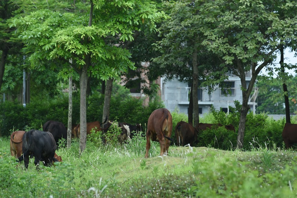 CLIP: A series of abandoned villas, urban areas in Hanoi become a place to graze cows - Photo 12.