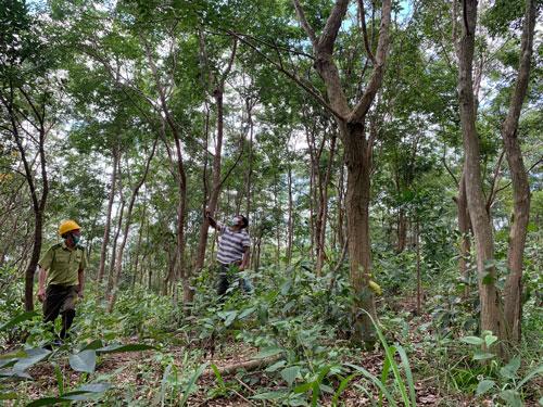 Nỗ lực khôi phục rừng trắc - Ảnh 1.