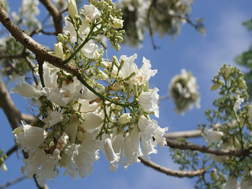 Đà Lạt nhân giống hoa phượng trắng - Báo Người lao động