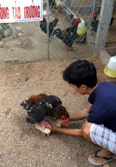 Việc lấy giống cho gà Đông Tảo khó khăn hơn so với các loại gà khác, anh Giang Tuấn Trưởng phải hỗ trợ lấy gà lấy giống.