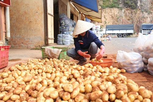 Khoai tây Trung Quốc đội lốt khoai tây Đà Lạt