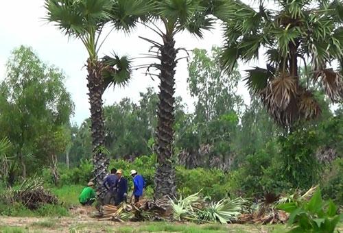 Các đầu nậu thuê nhân công đào bứng cây thốt nốt ở 2 huyện Tri Tôn và Tịnh Biên