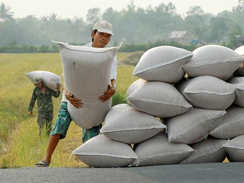 Tình trạng pha trộn các giống lúa, đem chế biến và xuất khẩu khá phổ biến, làm giảm uy tín gạo Việt Nam Ảnh: NGỌC TRINH