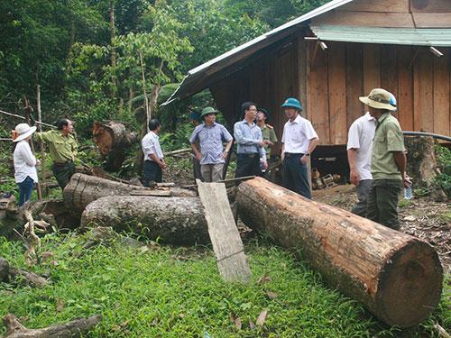 Cây rừng bị triệt hạ không thương tiếc