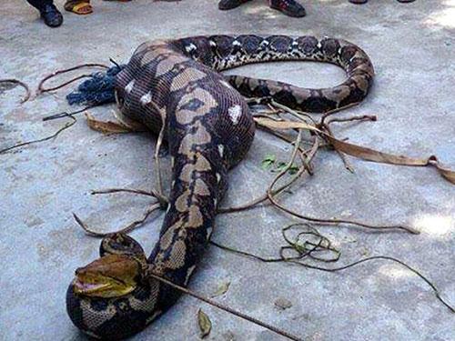 Con trăn nặng hơn 30 kg bị giết sau khi nuốt chửng 1 con bê. (Ảnh do người dân cung cấp)