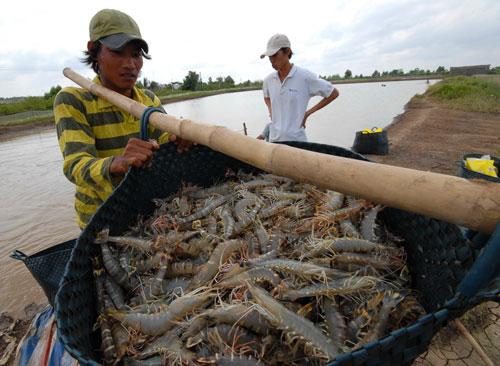 Từ đầu năm đến nay, xuất khẩu tôm của Việt Nam giảm đến 28,4% so với cùng kỳ Ảnh: Ngọc Trinh