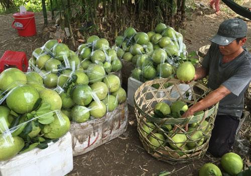 Thu mua bưởi tại xã Đông Bình, thị xã Bình Minh, tỉnh Vĩnh Long