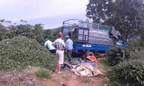 Dù Công ty TNHH Hà Linh ngưng thu mua trà nhưng do đến ngày, nông dân vẫn phải thu hoạch