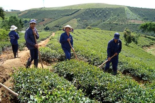 Cầu Đất của TP Đà Lạt là vùng đất lý tưởng cho các giống trà mới để chế biến trà ô long