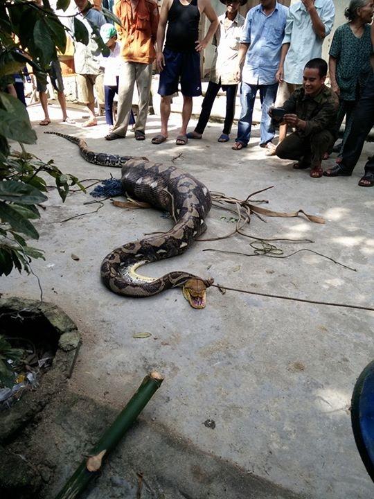 Con trăn dài 5 m, nặng hơn 30 kg đã bị người dân giết thịt