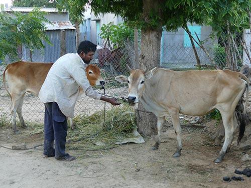 Những con bò già, gầy được ép bán cho người dân nghèo với giá 20 triệu đồng/con