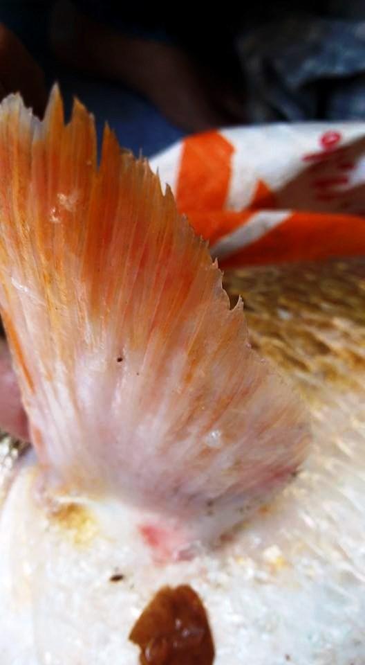 Vây và đuôi cá lạ nghi là cá Sủ vàng
