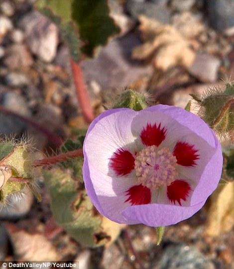 ...và hoa Năm chấm Sa mạc làm nên mùa xuân của Thung lũng Chết. Ảnh: Daily Mail