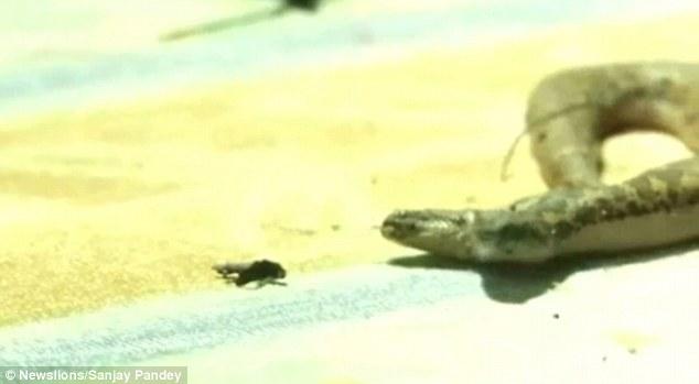 Khó ai có thể bình tĩnh khi nhìn thấy con rắn lạ lùng này. Ảnh: Daily Mail