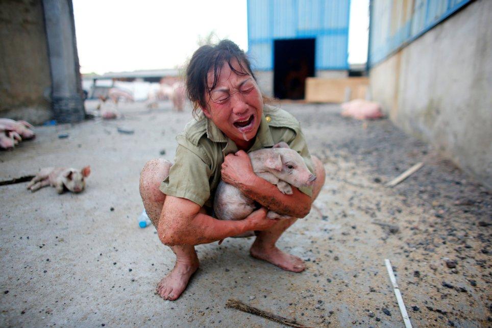 Một nông dân ở Hồ Bắc khóc ngất vì heo nuôi bị chết. Ảnh: Reuters