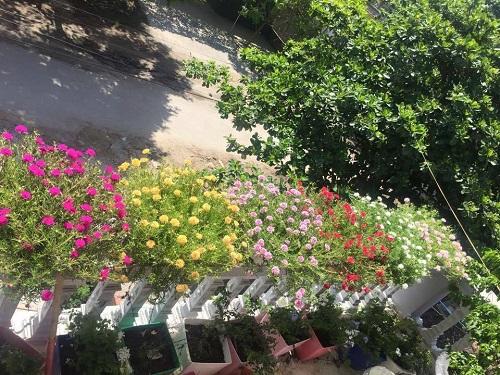 Hoa mười giờ nở rực rỡ trên sân thượng của một gia đình ở Hà Nội