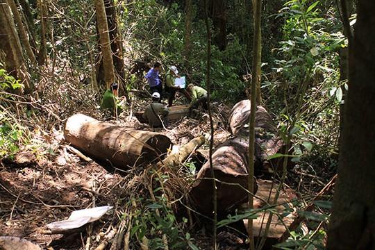La liệt lóng gỗ vụ lâm tặc đốn hạ rừng trái phép