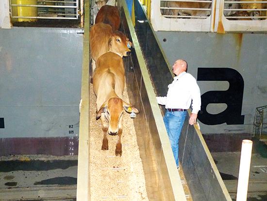 Bò Úc được nhập về Việt Nam. Ảnh: Uyên Viễn