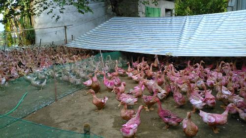 Mỗi ngày ông Sơn lỗ khoảng 1,5 triệu đồng vì giá trứng rẻ không bù nổi chi phí thức ăn. Ảnh: NN.