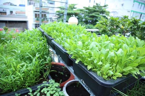 Sử dụng vòi tưới với vòi xịt tia rất nhỏ, tránh bị văng đất và dập rau.