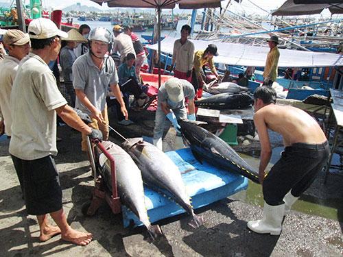 Cá ngừ về cảng cá Hòn Rớ khá nhiều nhưng không được giá Ảnh: KỲ NAM