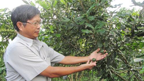 Nhiều vườn cây mắc ca ở Tây Nguyên cho trái rất ít. Ảnh: ĐÌNH THI