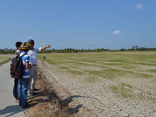 Hàng trăm ha lúa mới sạ ở Sóc Trăng sắp bị mất trắng do hạn, mặn Ảnh: THANH SANG